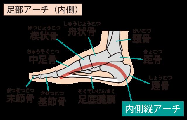 足底筋膜(足底腱膜)とは